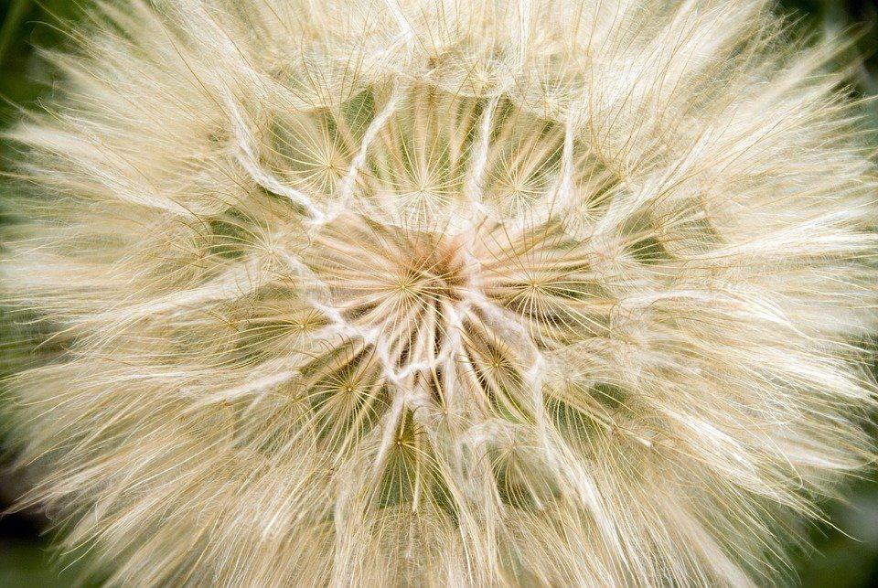 common dandelion 5237410 960 720 1